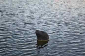 Local Wildlife - Fake Harbour Seal
