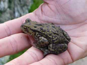 Denmarks protected Green Toad